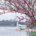 Cherry blossoms in Dalat