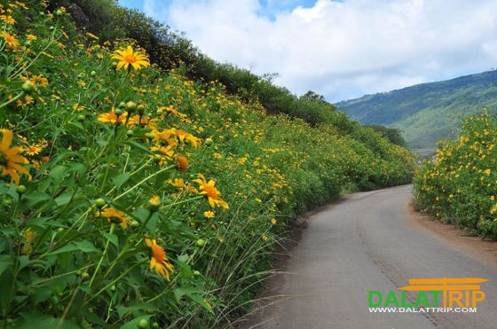 Mexican Sunflower in Dalat