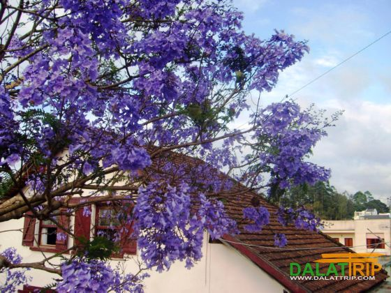 Purple Jacaranda in Dalat