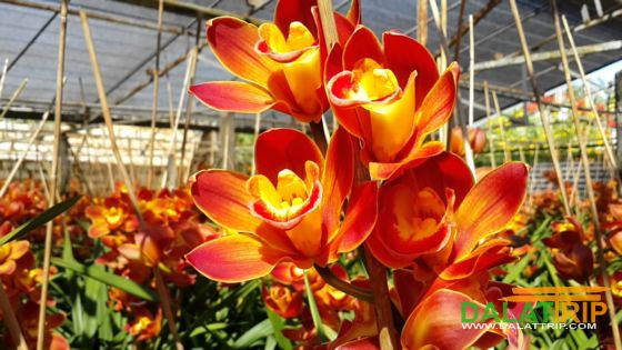 orchids of Da Lat