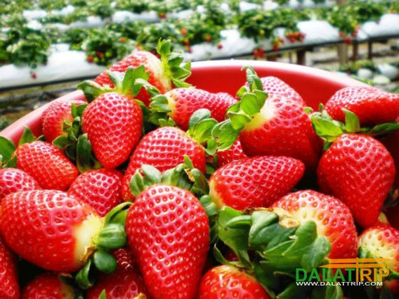 dalat strawberry