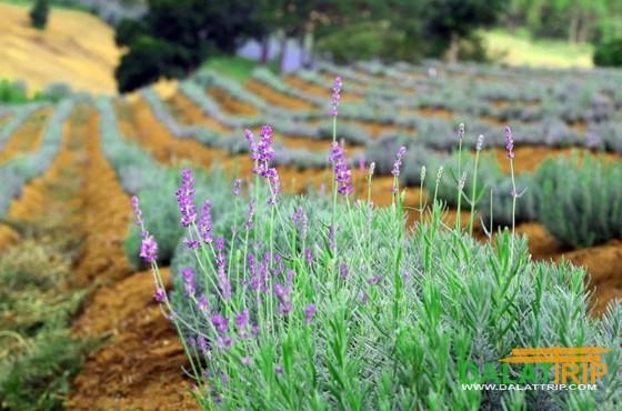 Lavender flower in Dalat
