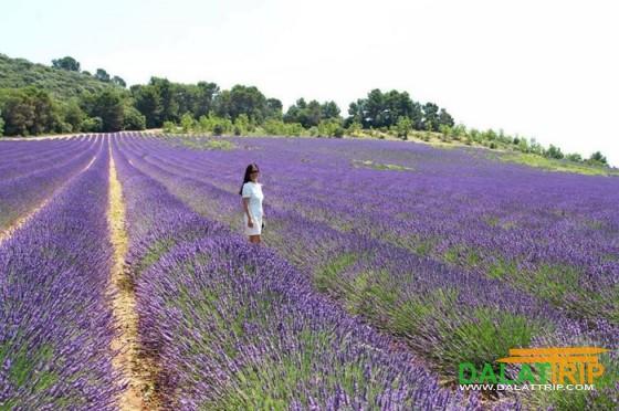 Lavender field in Dalat