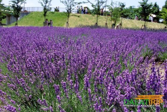 Lavender Dalat