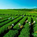 tea plantation in Dalat