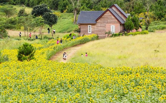 flower field in Dalat milk farm