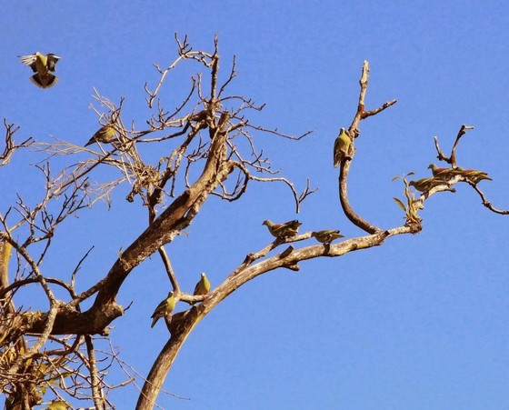 Ashy-headed Green Pigeon stand on dry branches in big group