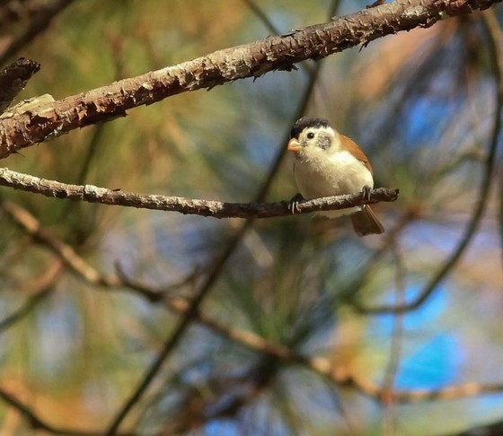 Black-headed Parrotbill 2