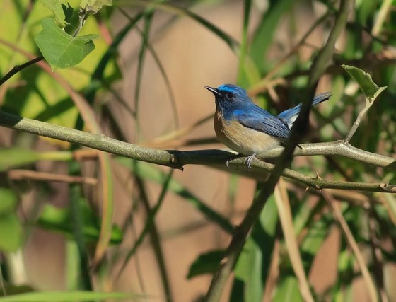 Klossi Blue-throated Flycatcher