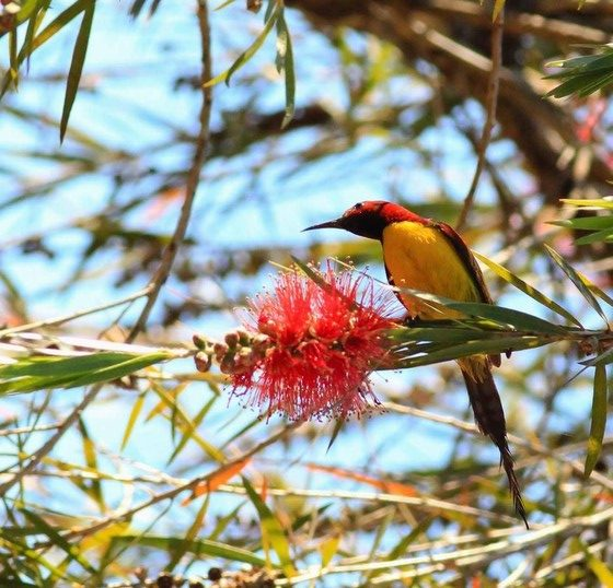 Mrs. Gould's Sunbird is eating