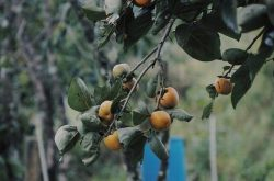 Fruitful garden of persimmon under autumn sky in Dalat