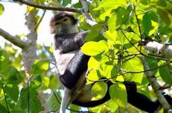 The gibbon of Cat Tien National Park
