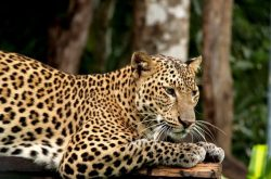 leopard at national park