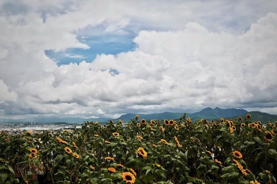 sunflower of Dalat