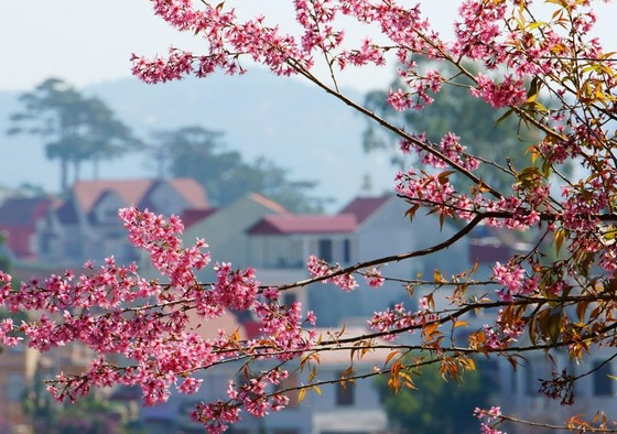 Cherry blossom has the undeniable beauty of Dalat when Tet comes