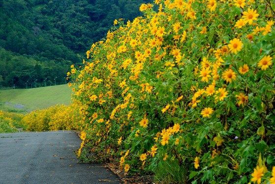 Dalat in the autumn to see wild sunflowers