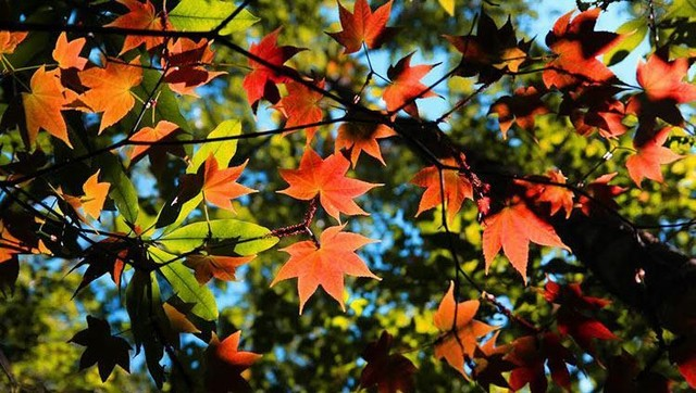 maple leaf forest